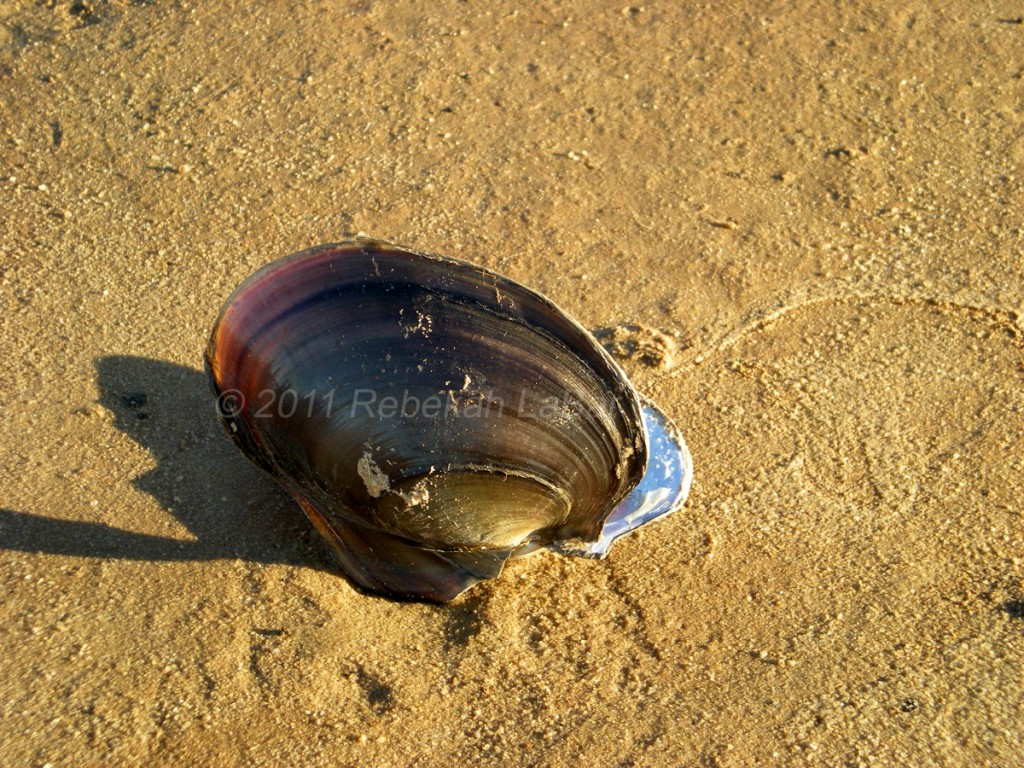 Lake Hefner Clam